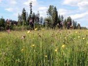 Naturnahe Wiesen in der Kulturlandschaft sollen die Artenvielfalt fördern. So vielfältige und hochqualitative Flächen wie hier sind jedoch rar im Mittelland. (Bild: Silvia Zingg, HAFL, Berner Fachhochschule)