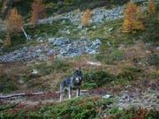 Paarungen zwischen Wolf und Hund mit Nachwuchs scheinen in den Schweizer Alpen kaum vorzukommen. Unter den drei bekannten Wolfsrudeln gibt es einer Studie zufolge keine Mischlinge. (Bild: GRUPPE WOLF SCHWEIZ GWS)