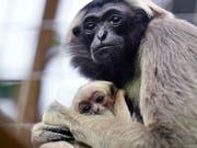 Neugieriger Blick in die Welt: Die Kappengibbons im Zürcher Zoo haben Nachwuchs bekommen. (Bild: KEYSTONE/WALTER BIERI)