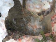 Wildernde Hunde haben am vergangenen Wochenende in Appenzell Ausserrhoden mehrere Rehe gerissen. Dieses männliche Rehkitz wurde am Sonntag in Heiden tot gefunden. (Bild: Kanton Appenzell Ausserrhoden)