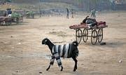 Eine Ziege auf Streife in der indischen Stadt New Delhi. (Bild: Altaf Qadri, 17. Januar 2019)