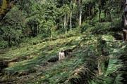 Hier ein Eindruck der Kaffeebaumschule Yayu im Südwesten Äthiopiens. Im Hintergrund wächst Wildkaffee. (Bild: Emily Garthwaite)