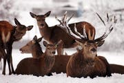 Hirsche werden immer wieder Opfer von Verkehrsunfällen. (Bild: Eddy Risch/Keystone)