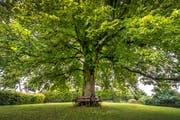 In Arbon soll es mehr Bäume geben. (Bild: Urs Bucher)