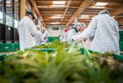 Mitarbeiter der Medropharm GmbH ernten CBD-Hanf in Schönenberg. (Bilder: Andrea Stalder, 2. Oktober 2018)