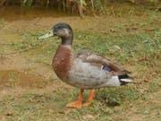 Trevor the Duck galt als einsamste Ente der Welt - am Wochenende wurde er Opfer eines Hundeangriffs. (Bild: Facebook/Trevor the Duck - Niue)