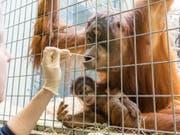 Wer ist der Vater der kleinen Padma? Um dies zu klären, wurde Orang-Utans im Zoo Basel für einen Vaterachaftstest mit Wattestäbchen eine Speichelprobe entnommen. (Bild: Keystone/Zoo Basel (Torben Weber))