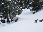 Wegen des vielen Schnees wechselten viele Hirsche in tiefere Lagen. Im Sarganserland kam es in der letzten Woche zu zahlreichen Unfälle, weil die Tiere auf der Suche nach Futter Strassen überquerten. (KEYSTONE/Gaetan Bally) (Bild: KEYSTONE/GAETAN BALLY)