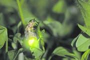 Ein Feenzauber in der Welt der Glühwürmchen. (Bild: Biosphoto)
