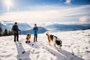 Winterwanderung mit Bernhardinern auf der Rigi. (Bild: Roger Grütter (Rigi, 1. Dezember 2018))