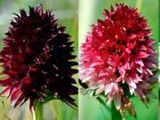 Wegen ihres intensiven Dufts nach Vanille heisst das «Schwarze Kohlröschen» auch Alpenvanille. Die rote Variante scheint der schwarz-purpurnen in mancher Hinsicht überlegen. (Bild: Roman Kellenberger / Universität Zürich)