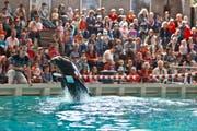 Bald kein Publikumsmagnet mehr in Rapperswil: die Seelöwen. (Bild: Keystone)