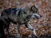 Genetische Untersuchen zeigen: Es war ein Wolf, der Ende November im thurgauischen Berg mehrere Schafe riss und verletzte (Bild: KEYSTONE/EPA/FILIP SINGER)