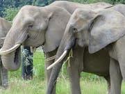 Mal dicker mal dünner: Zürcher Forscher sind einem «Jojo-Effekt» bei Zoo-Elefanten auf die Schliche gekommen. (Bild: Christian Schiffmann)