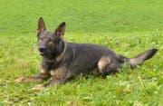 Polizeihund Rusty spürte den mutmasslichen Einbrecher auf. (Bild: Luzerner Polizei)
