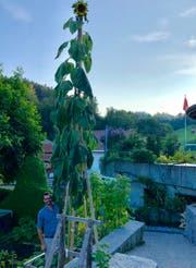 Die Sonnenblume wurde schliesslich 6,43 Meter hoch. (Bild: PD)