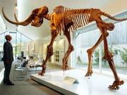 Nachbildung eines Mammut-Skeletts im Mammutmuseum in Niederweningen. Am Aussterben der letzten Exemplare war möglicherweise der Mensch schuld. Das Klima war's jedenfalls nicht. (Bild: Keystone/STEFFEN SCHMIDT)