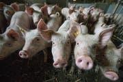Mehr Tierwohl – tiefere Produktionsmengen – höhere Preise. Der Schweinemarkt scheint wieder im Lot. (Bild: Pius Amrein, Ruswil, 5. Juli 2016)