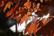 Leserbild. Robert Scherrer fotografierte das farbige Herbstlaub bei Abtwil.