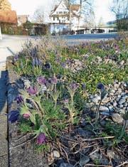 Im naturnahen Steingarten fühlen sich Alpenblumen wie die Anemone wohl. Bild: PD