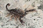 Der Italienskorpion wird maximal fünf Zentimeter lang. Für Menschen ist sein Stich in der Regel zwar schmerzhaft, aber gesundheitlich harmlos. (Symbolbild: Imago Images)
