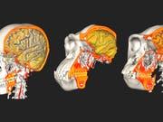 Prägten Schädelveränderungen die Hirnstrukturen und umgekehrt? Forschende der Uni Zürich haben dies anhand von Vergleichen zwischen Menschen und Menschenaffen untersucht (links Mensch, Mitte Schimpanse, rechts Gorilla). (Bild: J.L. Alatorre Warren, UZH)
