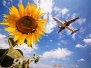 Ein Flugzeug der Lufthansa fliegt am Stuttgarter Flughafen über Sonnenblumen hinweg. In Deutschland sollen künftig Flugreisen teurer und Bahnfahrten im Fernverkehr billiger werden. Die Regierung hat Steueränderungen für das Klimapaket beschlossen. (Bild: Keystone/DPA/CHRISTOPH SCHMIDT)