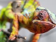 Mal grün, mal türkis, aber immer wachsam: Panther-Chamäleon «Rocco». Er ist in der Zürcher Chamäleon-Population für den Nachwuchs zuständig. (Bild: KEYSTONE/ENNIO LEANZA)