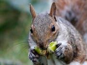 Sind herzig, aber vom Namen her nicht ganz an der Spitze: Eichhörnchen. Deutschlernende mögen das Wort «Gemütlichkeit» noch lieber. (Bild: KEYSTONE/AP/ROBERT F. BUKATY)