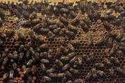 Die Bienen starben wegen eines verbotenen Insektenmittels. (Bild: Keystone)