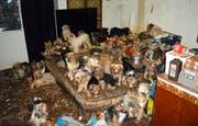 Fälle wie dieser: 2017 wurden in den USA mehr als 170 Yorkshire Terrier und Mischlinge in einem Haus in San Diego entdeckt. (Bild: Keystone)