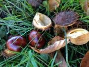 ...streuen derzeit auch ihre Früchte grosszügig auf die Rasenflächen am Rand der westlichen Innenstadt. (Bilder: Reto Voneschen - 16. Oktober 2019)