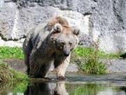 Braunbärin Laila streift im Natur- und Tierpark Goldau durch ihr neues Revier. (Bild: Natur- und Tierpark Goldau)