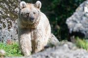 Laila ist 28 Jahre alt und kommt aus dem Zoo Münster. (Bild: Natur- und Tierpark Goldau)