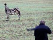 Vor der Flinte des Jägers: Das bei einem Zirkus ausgebüxte Zebra im ostdeutschen Tessin. (Bild: KEYSTONE/AP DPA/BERND W'STNECK)