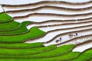 Herkömmlicher Reisanbau mit über Monate im Wasser stehenden Feldern wie hier in Vietnam produziert viel Methan. (Bild: Keystone)