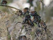 Im Tessin wurden erstmals Japankäfer in freier Natur nachgewiesen. (Bild: Keystone/AP/Nati Harnik)