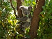 Ein junger Koala isst Blätter in einem Wildpark bei Brisbane in Australien. (Bild: KEYSTONE/EPA/DAVE HUNT)