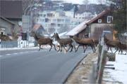 In strengen Wintern quert im Werdenberg das Wild einige Verkehrsstrassen. Die Kantonspolizei erlässt präventiv Massnahmen zur Temporeduktion. (Bild: Archiv)