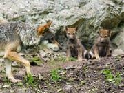 Jungwölfe mit ihrer Mutter im Juraparc: Im Gegensatz zu einem Bündner Wolfsrudel, das nun teilweise abgeschossen werden soll, riskieren diese Wölfe nichts. (Bild: KEYSTONE/JEAN-CHRISTOPHE BOTT)