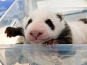Schon 1400 Gramm schwer: Eines der beiden Panda-Jungen beim Wägen im Zoo Berlin. (Bild: Zoo Berlin)