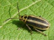Trirhabda virgata - stammt aus der Familie der Blattkäfer. Einen deutschen Trivialnamen habe er nicht, sagt Wikipedia. (Bild: Wikipedia)