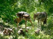 Umwelt- und Tierschutzorganisationen haben das Referendum gegen das neue Jagdgesetz lanciert. Damit könnten Wölfe auf Vorrat abgeschossen werden, kritisieren sie. (Bild: KEYSTONE/AP/JEFF ROBERSON)