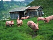 Schweizer Bauern können sich 2019 über ein leicht höheres Einkommen freuen als letztes Jahr. Die Schweinezucht etwa hat besser rentiert als auch schon. (Bild: Keystone/CHRISTOF SCHUERPF)