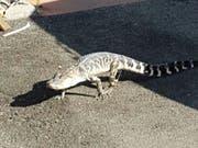 In Florida sind zwei Männer festgenommen worden, weil sie einen Alligator zum Bierkonsum nötigten. Alligatoren sind in Florida oft in Wohngebieten unterwegs. (Bild: KEYSTONE/AP NYPD)