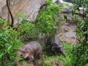 In Thailand ertranken elf Elefanten in einem Wasserfall, die einem Jungtier zu Hilfe kommen wollten. Zwei Elefanten wurden gerettet. Sie konnten den Abhang zurück in den Wald hochklettern, nachdem ihnen Wildhüter energiereiche Nahrung zugeworfen hatten. Bild vom 5. Oktober) (Bild: KEYSTONE/EPA/DNP HANDOUT)