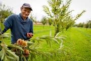 Filipp Fässler freut sich über die gute Ernte in der Rorschacherberger Marroniplantage. (Bild: Rudolf Hirtl)