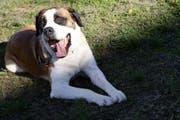 Der Bernhardiner ist das Schweizer Nationaltier – auch Hunde dieser Rasse können aber zubeissen. (Symbolbild: Keystone)