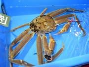 Diese Schneekrabbe wurde für rund 46'000 Franken verkauft. Das Fleisch dieser Krabbenart gilt als besonders delikat. (Bild: KEYSTONE/EPA JIJI PRESS)