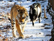 Timur (r.) und Amur waren international in den Schlagzeilen, als der Tiger mit dem ursprünglich als Futter gedachten Ziegenbock friedlich ein Gehege teilte. (Bild: KEYSTONE/AP/IGOR SELIVANOV)